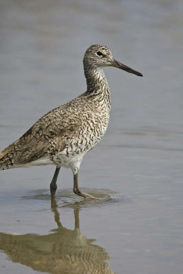Look for willets, a tall shorebird the color of driftwood, along the Texas coast. Photo: Kathy Adams Clark