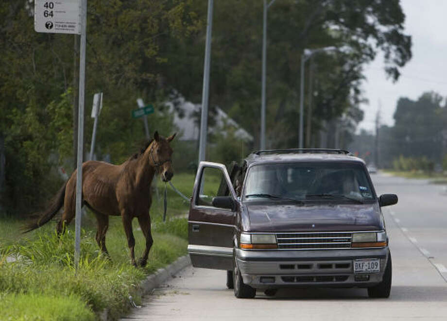 Miss B is glad to see her family, who have come to guide her home after her four days on the loose. Tuesday, a friend told Denice Timmons that her grandson's horse was tied to a Metro bus stop sign about a mile from her home in northwest Houston. Photo: Johnny Hanson, Chronicle
