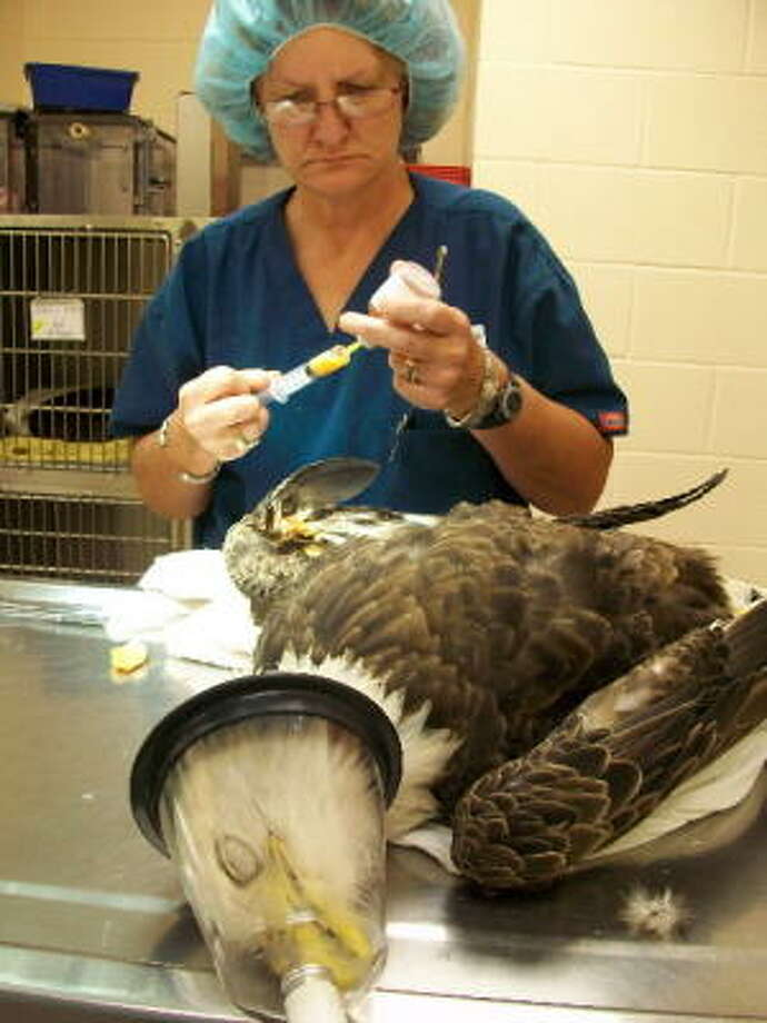 Dr. Melissa Hill tends to an eagle that was shot by shotgun near Groveton last September.  Last Chance Forever Bird Conservancy rehabbed it. It underwent 3 surgeries and had to build up muscle to why again. This Sunday they will release it near the East Texas town of Timpson. Photo: Last Chance Forever Bird Conservancy