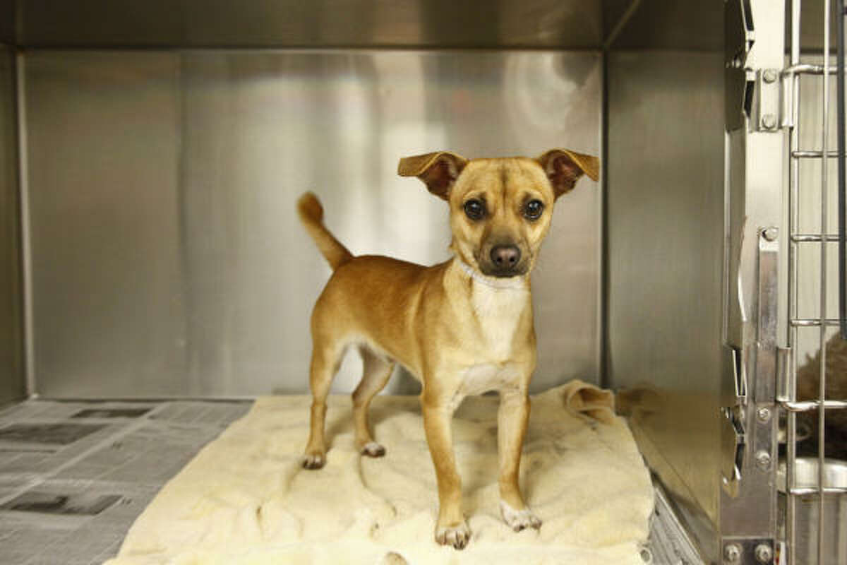 Jerry, a mix, stands in her new cage after arriving Tuesday to the Houston SPCA along with 30 other Chihuahuas from the Society for the Prevention of Cruelty to Animals Los Angeles.