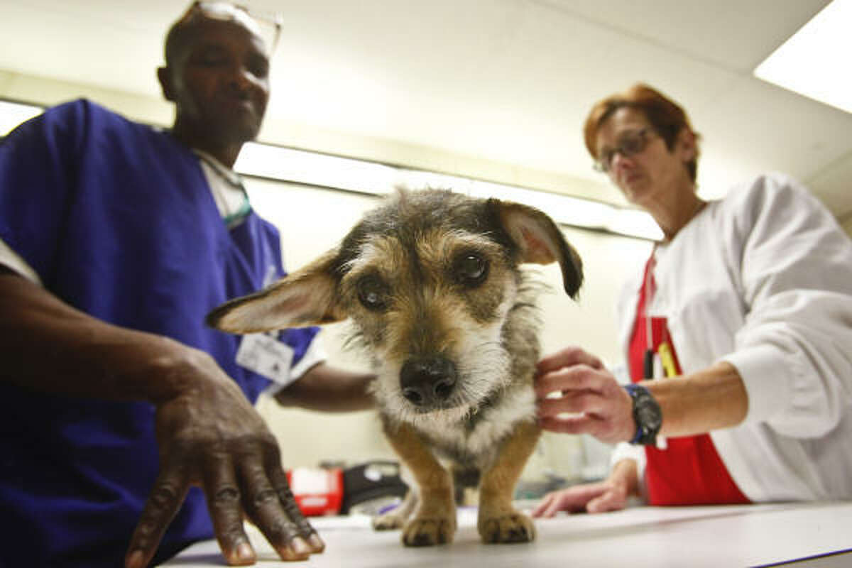 May, a wire-hair terrier mix, gets examined by veterinary technicians Melvin Davis and Toni Nichols.