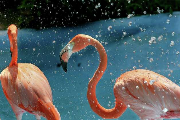 Flamingos get a break from scorching temperatures under a water spray at Louisiana Purchase Gardens and Zoo in Monroe, La., on Saturday, June 4, 2011. Photo: AP Photo/The News-Star,  Margaret Croft