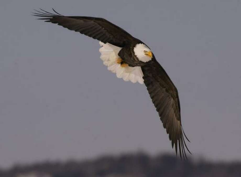 Reviews by government scientists have been used to determine how federal projects affect endangered species, like the bald eagle once was. Such reviews face extinction under a White House plan. Photo: ANDREW VAUGHAN, ASSOCIATED PRESS