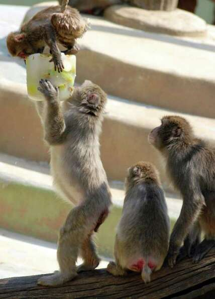 Macaques eat from a block of frozen fruit to refresh themselves at Rome's zoo on Tuesday, July, 1
