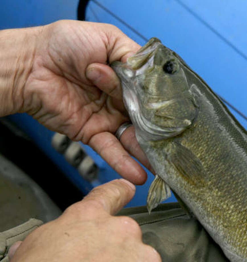 Jeff Kelble, an environmental activist, shows an unusually small fish from the Shenandoah River. Something in the water has been causing illness and death in several species, including smallmouth bass. Photo: Kevin Clark, The Washington Post