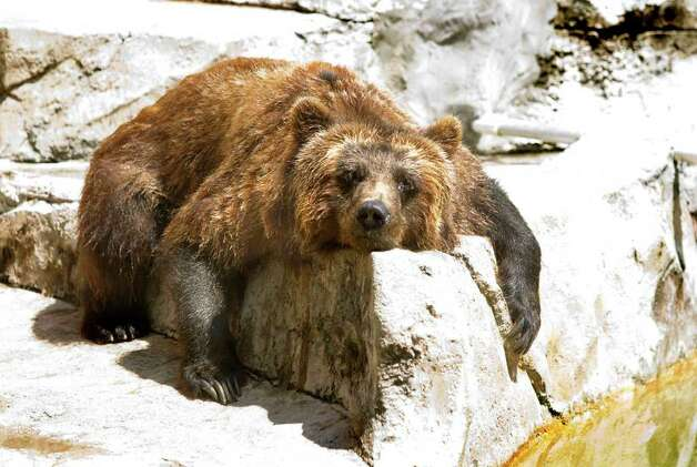 A grizzly bear at Henry Vilas Zoo in Madison, Wis., dries off after taking a dip in the water on Tuesday July 19, 2011. Warm and humid weather has gripped the nation this summer. Photo: AP Photo/Wisconsin State Journal,  Steve Apps / Wisconsin State Journal