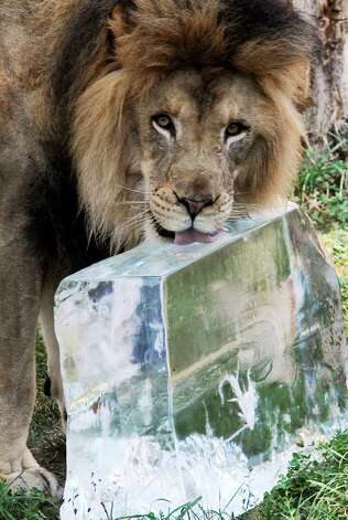 Zenda, a 5-year-old African lion, keeps cool during the hot weather thanks to a large 200-pound block of ice at the Brookfield Zoo in Brookfield, Ill.,  on Wednesday, July 20, 2011. Much of the United States is experiencing miserable temperatures in the mid-90s to low 100s and heat-index levels well above 100 degrees. Photo: AP Photo/Chicago Zoological Society,  Jim Schulz
