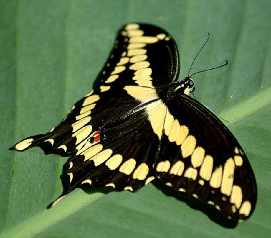 Giant swallowtail Photo: Urban Harvest
