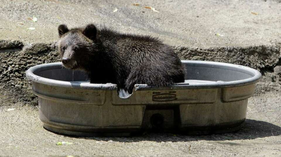 A grizzly bear cub stands in a pool to cool off at the Cleveland Metroparks Zoo on Thursday, July