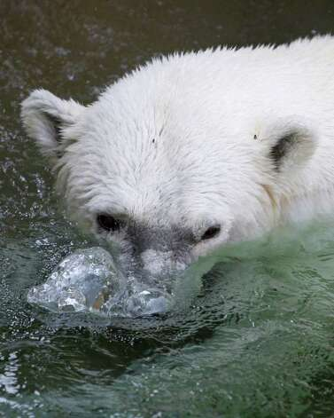 A polar bear blows bubbles at the Cleveland Metroparks Zoo on Thursday, July 21, 2011, in Cleveland. The temperature at the zoo reached 98 degrees. Photo: Tony Dejak/Associated Press