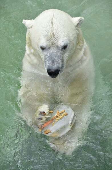 A polar bear enjoys a frozen treat including fruit, nuts and fish at Toronto Zoo on Thursday, Jul