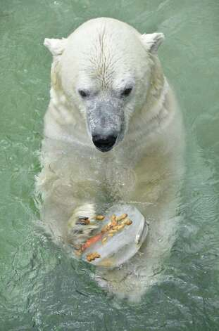 A polar bear enjoys a frozen treat including fruit, nuts and fish at Toronto Zoo on Thursday, July 21, 2011. Toronto was forecast to hit near-record temperatures in the midst of a summer heat wave. Photo: AP Photo/The Canadian Press,  Patrick Dell / The Canadian Press