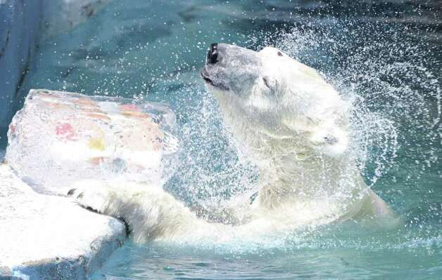 "Gogo the polar bear grabs an ice cube containing apples presented to him on the day known as Taisho, or ""Big Heat,"" in the Japanese traditional calendar, at Tennoji Zoo in Osaka, western Japan, on Saturday July 23, 2011. Taisho marks the beginning of the 12th of 24 solar terms in the traditional calendar, and is known as one of the hottest periods of the year. Photo: AP Photo/Kyodo News"