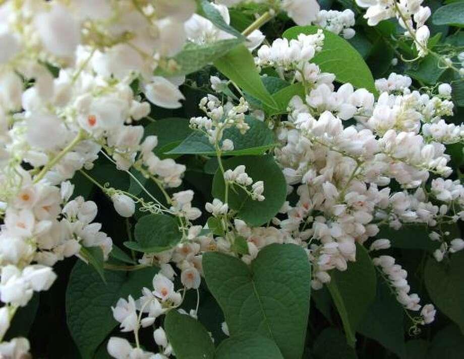 White coral vine Photo: COURTESY PHOTO