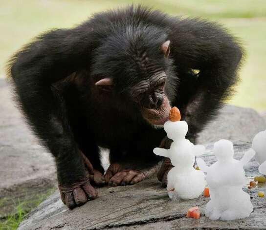 A chimpanzee checks out a snowman at the Houston Zoo on Saturday, July 23, 2011, in Houston. TXU Energy provided over eight tons of snow to build the snowmen and an ice field for the animals and visitors to beat the summer heat. Photo: AP Photo/TXU Energy,  Dave Einsel