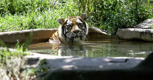 A Siberian tiger rests in a pool of water at the Cleveland Metroparks Zoo on Thursday, July 21, 2011, in Cleveland. Photo: Tony Dejak/Associated Press