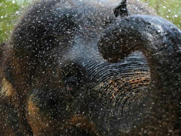 Thai, a 42-year-old bull elephant at the Houston Zoo, enjoys a shower on Monday, July 25, 2011. The elephants at the zoo are hosed down daily during hot weather. Photo: Pat Sullivan/Associated Press