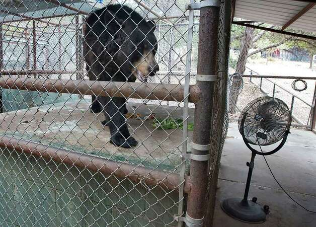 Chloe, a female North American black bear at the Austin Zoo, paces back in forth in front of a fan to keep cool in Austin on Monday, July 25, 2011. Photo: AP Photo/Austin American-Statesman,  Rodolfo Gonzalez