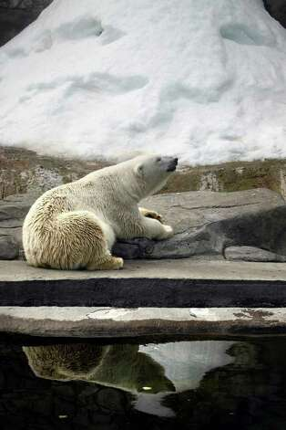 A polar bear cools down near artificial snow at the Moscow Zoo on Wednesday, July 27, 2011. The temperature reached a record high 95 degrees. Photo: Alexander Zemlianichenko/Associated Press / AP