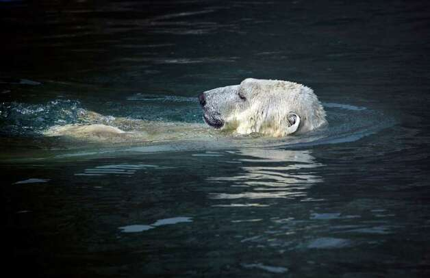 A polar bear cools down in a pool at the Moscow Zoo on Wednesday, July 27, 2011. The temperature reached a record high 95 degrees. Photo: Alexander Zemlianichenko/Associated Press / AP
