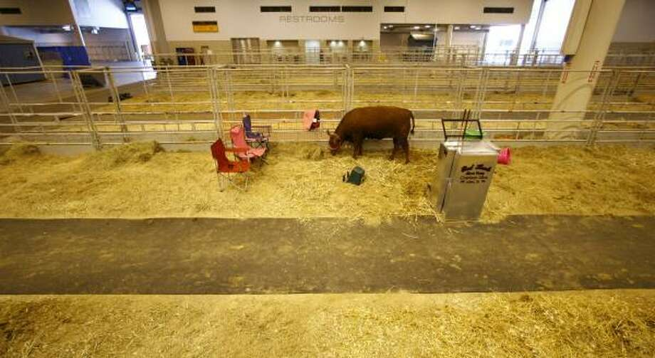 A heifer grazes alone Saturday after the conclusion of the Junior Market at Reliant Center. The rodeo usually ends on a Sunday, but was changed to avoid Easter. Photo: NICK De La TORRE, CHRONICLE
