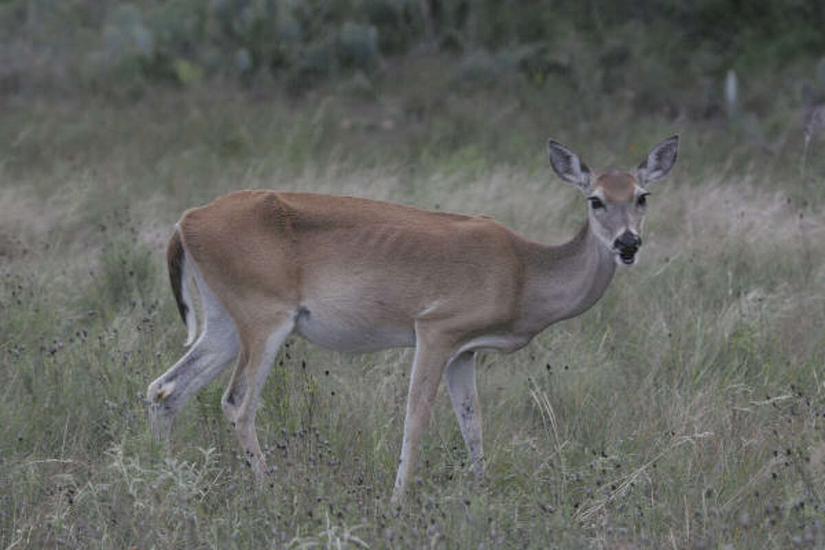 LEAN TIMES: Without autumn and winter rains to trigger early growth of forbs and browse, wildlife in areas hardest hit by a persistent, months-long drought are struggling to survive. This skin-and-bones whitetail doe was foraging in Kimble County.