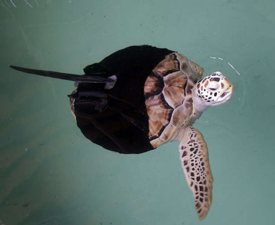 Allison, a green sea turtle who lost three flippers to sharks, swims with the aid of a fin attached to a neoprene suit at Sea Turtle Inc. at South Padre Island. When an attempt to build a prosthetic flipper failed, researchers came up with a carbon-fiber dorsal fin. Photo: Eric Gay, Associated Press