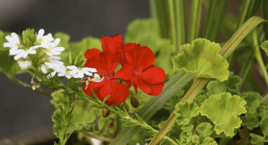 Geranium (Pelargonium x hortorum) Photo: Dean Fosdick, AP