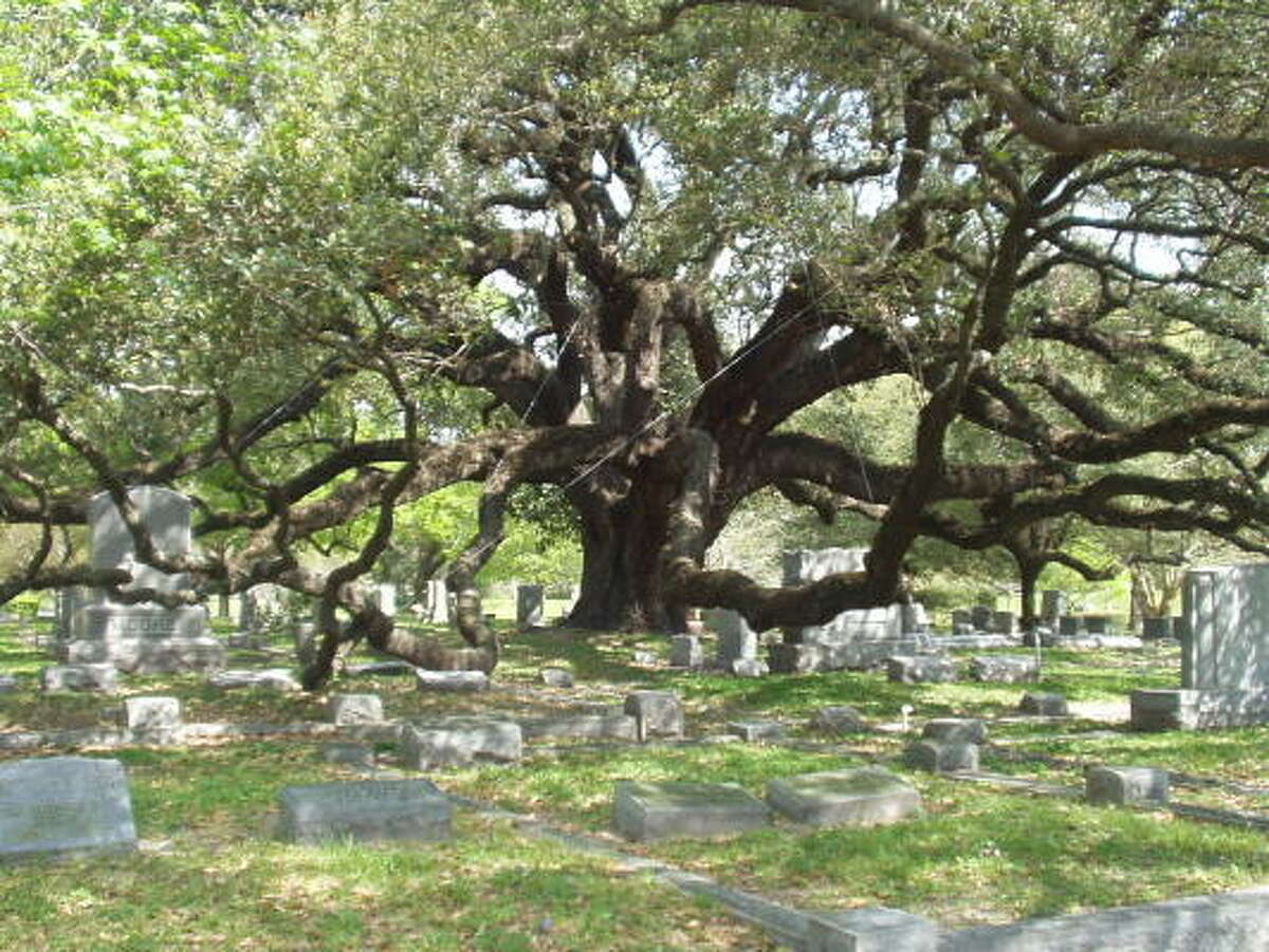 How the Cemetery Oak at Glenwood Cemetery came to be planted there is an enigma.