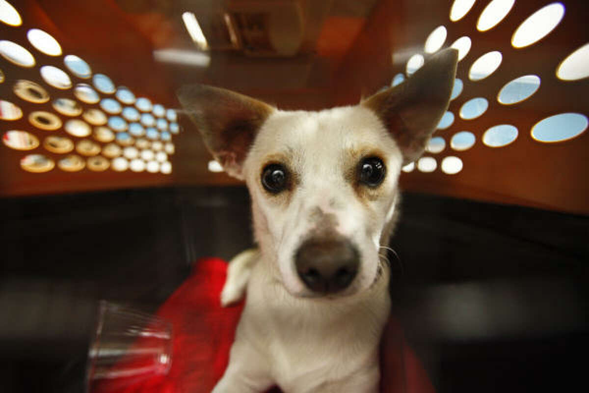 Bruiser, a Chihuahua mix, is ready to get out of his travel cage Tuesday after flying in from L.A. for a second chance at the Houston SPCA.