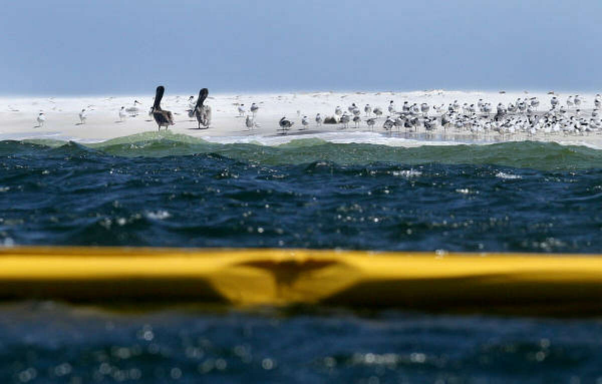 Two brown pelicans and a flock of seagulls rest on Ship Island as a boom line floats offshore Thursday.