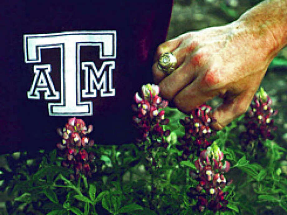 Maroon bluebonnets Photo: Aggie-horticulture.tamu.edu