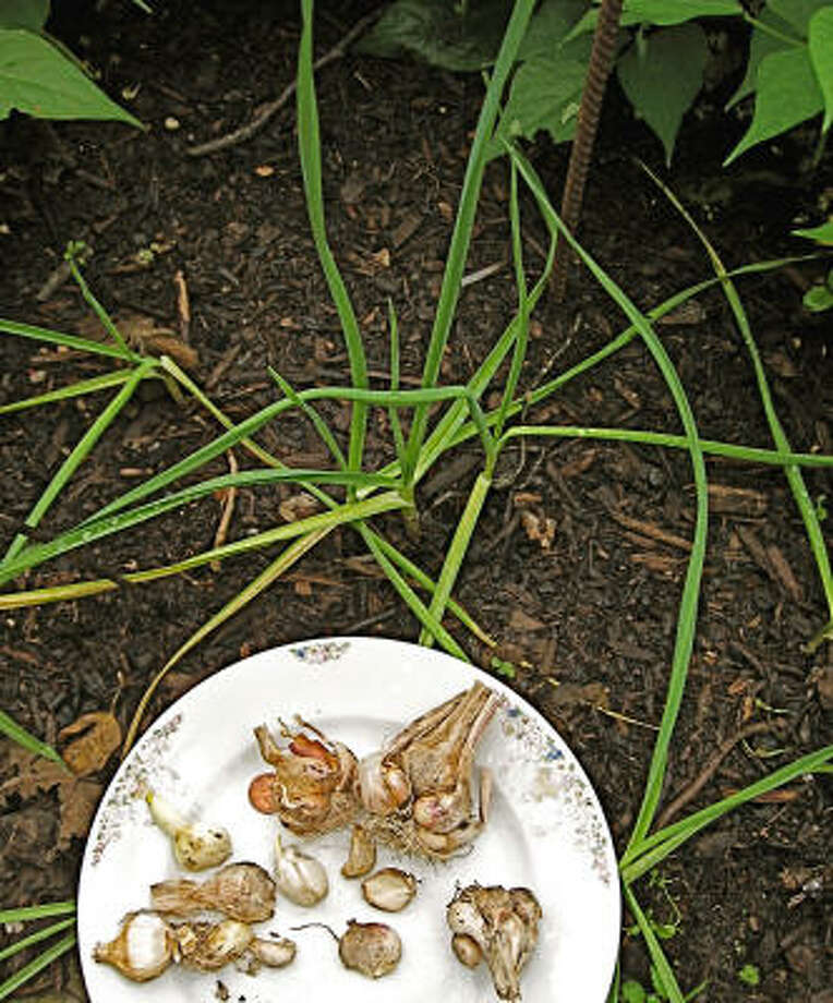 These 'Lorz Italian' garlic cloves are ready for transplant while young garlic plants grow on the edge of fall bean bed. Photo: Bob Randall, Urban Harvest