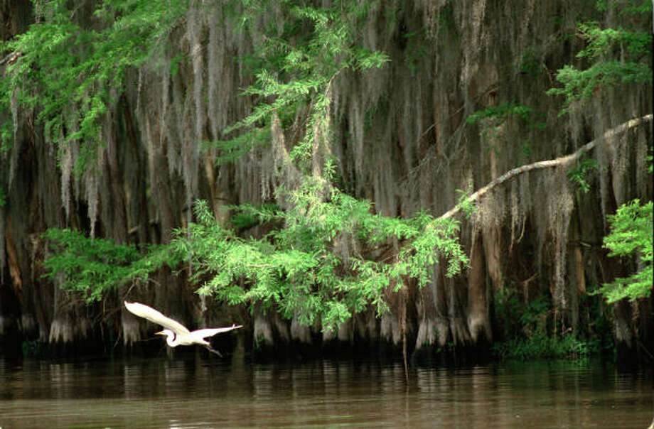 A great egret glides past bald cypress trees in the Hog Wallow area of Caddo Lake in East Texas. Caddo Lake State Park is an ideal base for exploring the area. Photo: E. Joseph Deering, Chronicle File