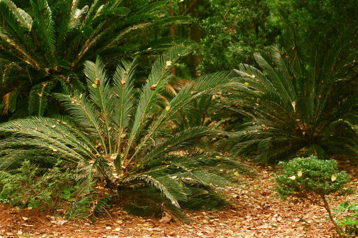 Sago palms are found in the Prehistoric Garden at Mercer Arboretum & Botanic Gardens.