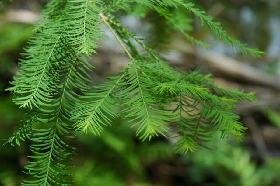 Leaves of taxodium mucronatum or Montezuma cypress. Photo: Mercer Arboretum & Botanic Gardens