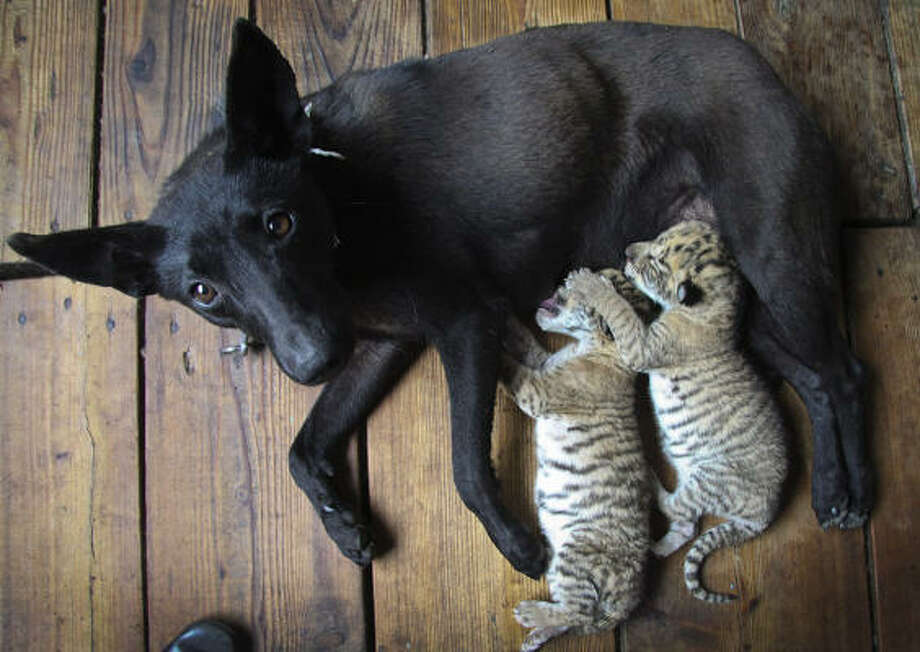 A dog nurses two liger cubs at a zoo in Weihai in east China's Shandong province. Cong Wen of Xixiakou Wildlife Zoo in eastern China says four cubs were born to a female tiger and a male lion on May 13. The tiger mom fed the ligers for four days then for unknown reasons abandoned them, she says. Chinese zoo workers brought in a dog to nurse them instead, but two died of weakness. Photo: Associated Press