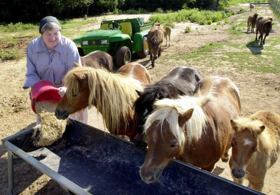 Sister Angela Chandler feeds some of the 85 miniature horses at the Monastery of St. Clare in June 2000 in Brenham. Photo: DAVID J. PHILLIP, ASSOCIATED PRESS