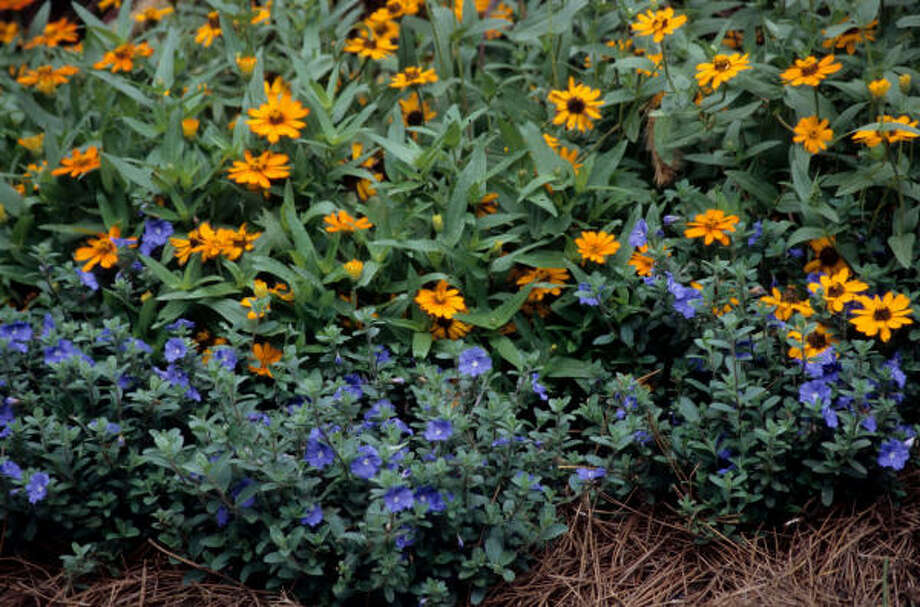 Blue Daze Evolvulus and Profusion Fire zinnia Lazy Gardener on drought bloomers | Drought-tolerant plants | Top 10 sun lovers | HoustonGrows.com Photo: MCT