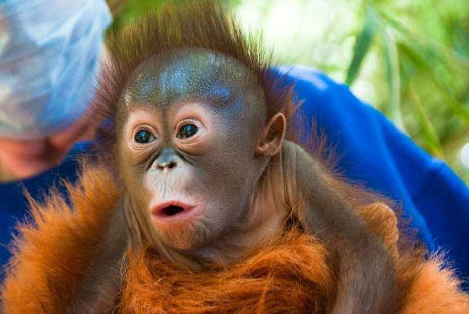 The newest Bornean orangutan at the Houston Zoo was born March 2, 2011. The baby, as yet unnamed, is being hand reared by a team of trained and experienced care givers.  The baby isn't on public view but her progress may be followed at HoustonZoo.com. Photo: Houston Zoo