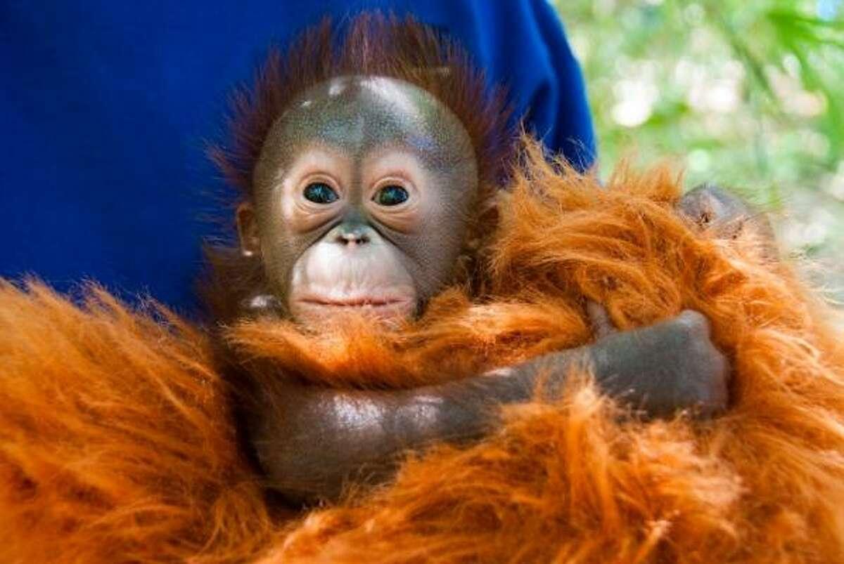 The newest Bornean orangutan at the Houston Zoo was born March 2, 2011.