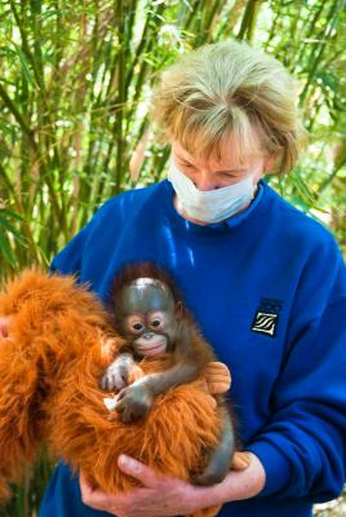 The newest arrival at the Houston Zoo, a baby orangutan born March 2 to mom Kelly is seen in the arms of one of her care givers, Janet at the Zoo's Wortham World of Primates. The baby is being hand reared by a team of trained and experienced care givers.