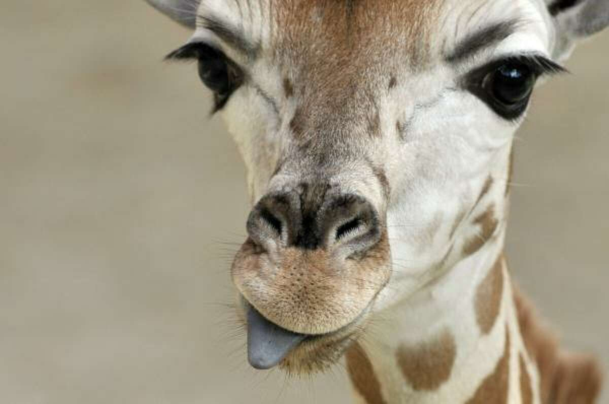 A newborn giraffe sticks out its tongue at the Opelzoo in Kronberg, Germany, Feb.22.