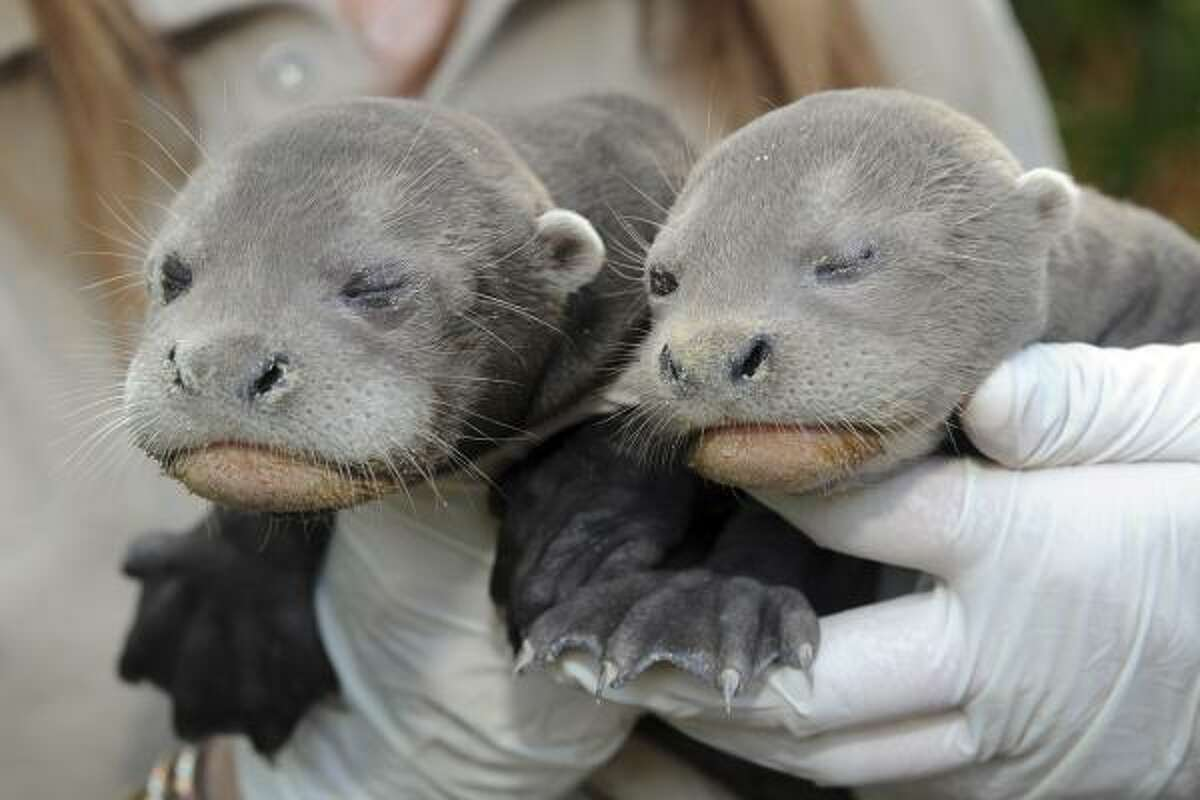 Two Giant River Otter pups born on Jan. 31 make a debut appearance at Zoo Miami, March 2.