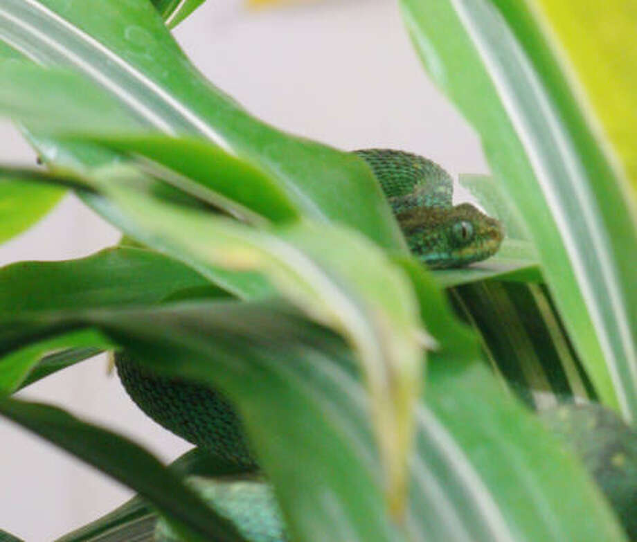 This bush viper, which was missing for almost two days in July, has disappeared again from its exhibit at Moody Gardens in Galveston. Photo: Moody Gardens
