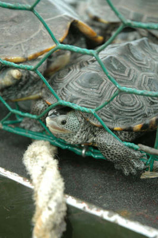 Diamondback terrapins are one of a handful of turtles state wildlife officials are considering protecting from commercial exploitation. Photo: Shannon Tompkins, Houston Chronicle