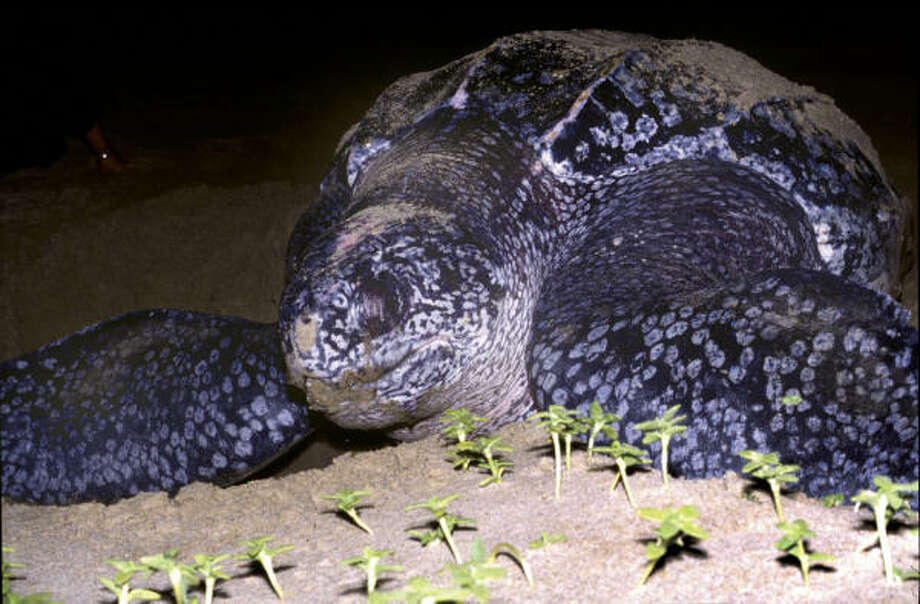 The Leatherback is among three turtle species that lay eggs on the beaches near Puerto Vallarta, Mexico. Photo: Peter Richardson, Getty Images
