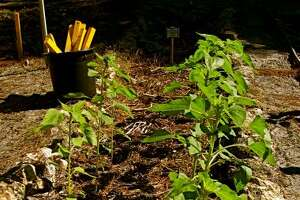 BENEFICIAL TO PLANTS: A swale is used to water sunflowers and recharge a water table on a down slope.