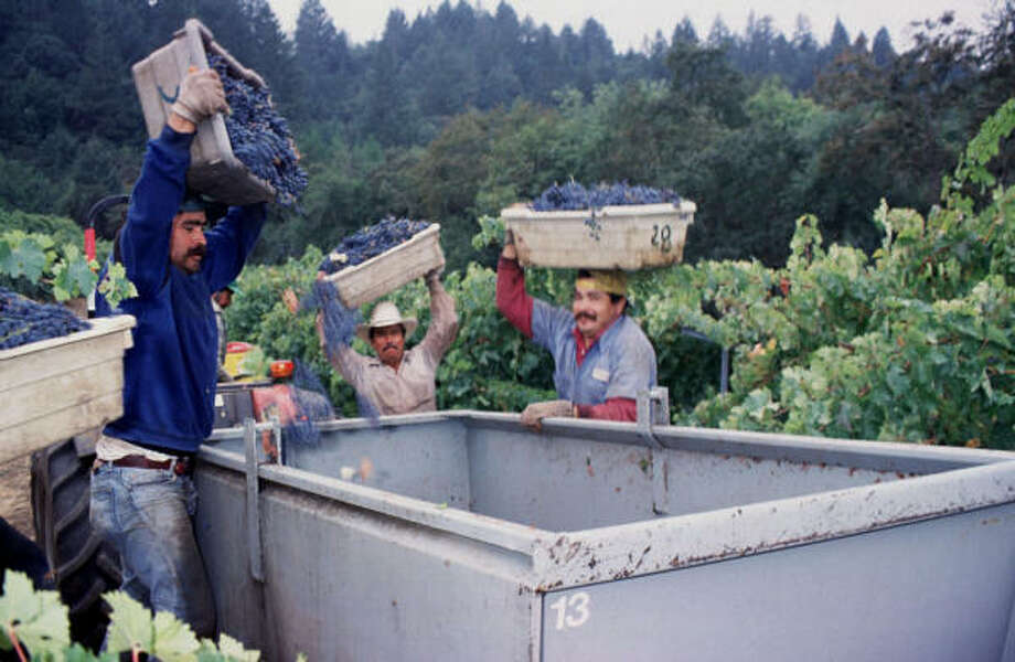 Workers at Dry Creek Vineyard in California's Sonoma County empty their lug boxes full of merlot grapes into a bin that will transport the grapes to the presses in the winery. Merlot has been both a boon and a bane for California winegrowers, and overplanting in the '90s has resulted in too many poor-quality, inexpensive merlots on the market. Photo: Dry Creek Vineyard