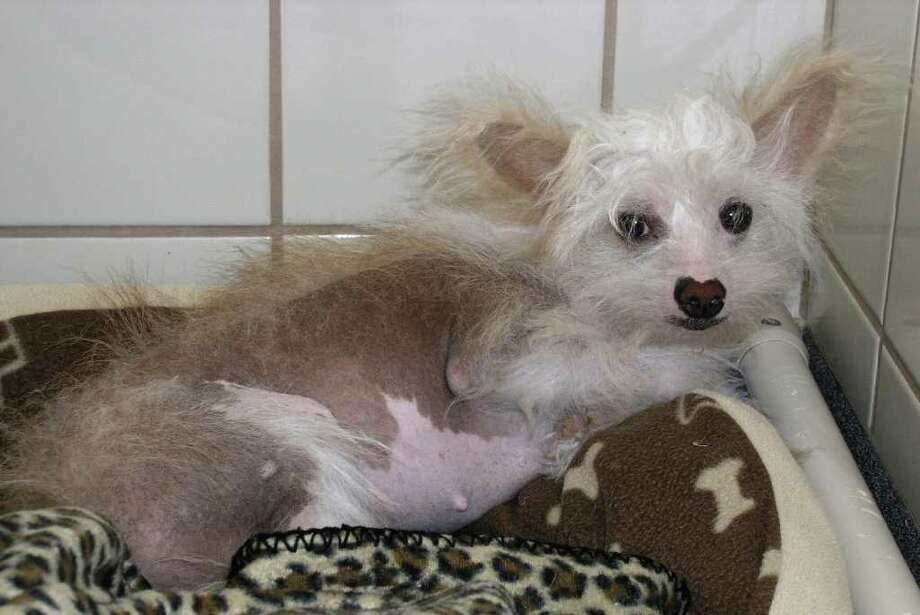 Next up is Rosie, a 3 year old Chinese Crested girlfriend who is already spayed. She is tan and white with some reddish fur on her back.  She s full grown and only weighs 10 Lbs.      Rosie was rescued in January from a puppy mill house in NW Houston where she was one of over 300 animals! She s very skittish at first, but loves to have attention and get petted. She needs a quiet household with no small children.  She s comfortable with other dogs, but she is very, very shy, so her adopters must be very patient with her! She will use the potty outside, but needs to be taken out several times a day or crated/secured in a small area if left alone.     She s come so far, but Rosie still needs all the help she can get.   Most folks can t get past the  shyness  thing, but I hope you can convince potential adopters that she s worth the effort. Thank you for helping her get a real home. Photo: CITIZENS FOR ANIMAL PROTECTION